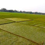 Boro paddy transplantation gets momentum in Rajshahi division