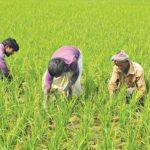 Boro cultivation surpasses target in Narsingdi