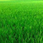 Farmers exceed Boro rice farming target in Rangpur region