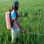 Farmers to produce 34 lakh tonnes Boro rice in Rajshahi