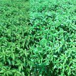 Plentiful jute output likely in Rangpur region